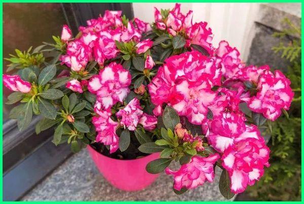 tanaman berbahaya untuk kucing, tanaman beracun bagi kucing, tanaman beracun buat kucing, tanaman beracun untuk kucing