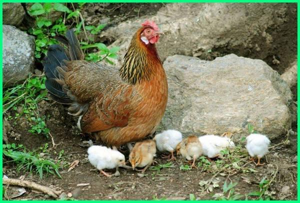 ternak ayam kampung sukses