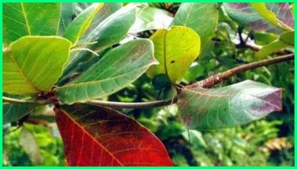 manfaat daun ketapang ikan cupang, manfaat ketapang cupang, pemakaian daun ketapang pada cupang, fungsi daun ketapang pada cupang, manfaat daun ketapang pada cupang, daun ketapang untuk cupang, manfaat ketapang untuk cupang
