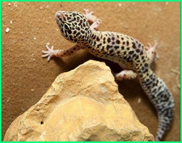 leopard gecko harga, apa itu leopard gecko, berapa lama telur leopard gecko menetas, berapa lama umur leopard gecko, apa ciri khas dari leopard gecko, a leopard gecko, leopard gecko morph