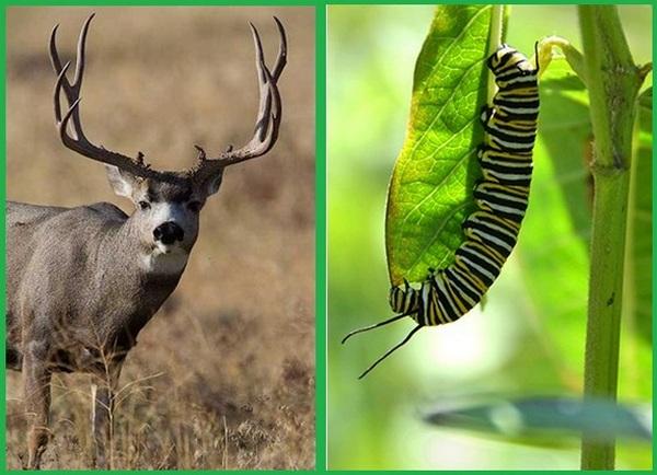 apa itu sistem pencernaan pada hewan organ apa saja yang menyusun sistem pencernaan hewan apa saja perbedaan sistem pencernaan pada manusia dan hewan ruminansia apakah sistem pencernaan hewan dan manusia itu berbeda pengertian sistem pencernaan hewan apa sistem pencernaan pada hewan, Pencernaan Herbivora