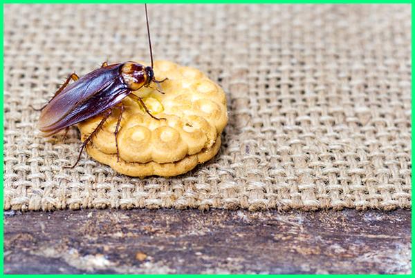 bahaya makanan dihinggapi kecoa, makanan yg dilewati kecoa, makanan terkena kecoa, bahaya makanan terkena kecoa