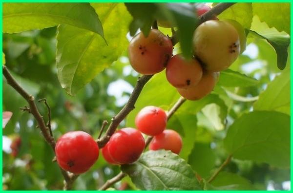 gambar buah langka dan namanya, nama buah langka dan gambar, buah langkah di dunia, buah langkah indonesia, buah yang hampir langka, buah langka indonesia, buah langka khas indonesia