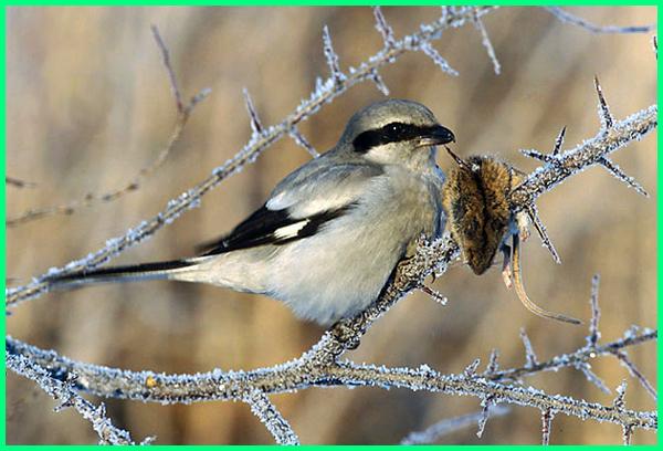 hewan yang menusukan mangsanya di batang berduri, hewan yang menyimpan buruannya di duri