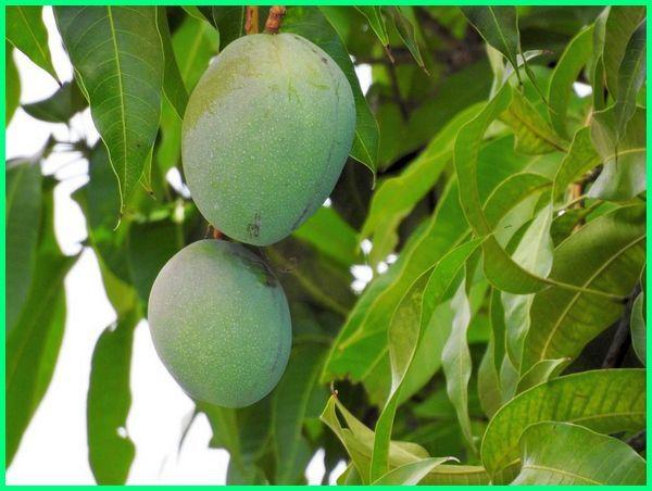 tanaman tropis.com, tumbuhan tropis.com, contoh tanaman tropis, tanaman tropis apa saja, tanaman buah subtropis, tanaman tropis wikipedia