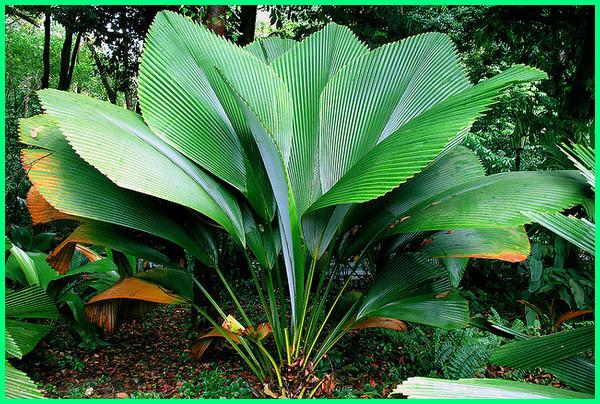 flora asli indonesia, flora fauna indonesia, flora fauna dari indonesia, tanaman daun payung, pohon daun payung