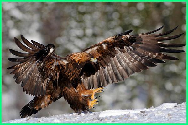 gambar burung elang yang besar