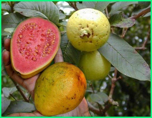 tumbuhan tropis adalah, tumbuhan tropis di indonesia, jenis tanaman tropis, jenis tanaman tropis untuk taman, tanaman tropis yang dapat dijadikan minuman, tanaman musim tropis