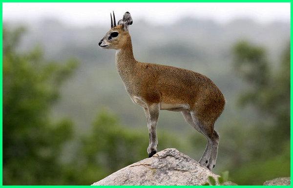 hewan melompat, hewan melompat contohnya, hewan lompatan tertinggi, hewan kecil lompat, hewan yang suka lompat, hewan melompat lompat, hewan yang melompat adalah