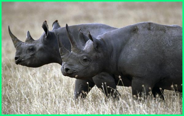 hewan punah terbaru, hewan punah 2018, hewan punah adalah, hewan langka artikel, hewan cepat punah karena manusia, hewan yang sudah punah, binatang yang sudah punah, Badak hitam Afrika Barat, hewan yang punah di zaman modern