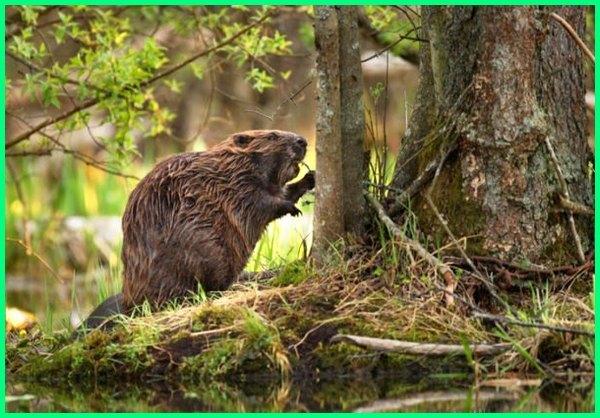 perbedaan beaver dan otter, berang-berang dan beaver, hewan yang memakan kayu, hewan yang memakan tanaman, hewan yang memakan pohon, hewan yang memakan tanaman air
