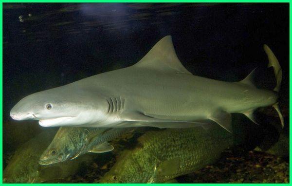 ikan hiu air tawar aquarium, jenis ikan hiu tawar, ikan hias hiu air tawar, cari ikan hiu air tawar, ikan hiu di air tawar, jenis ikan hiu air tawar, ikan hiu tdk dapat hidup di air tawar karena, Bizant river shark