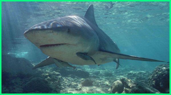ikan hiu air tawar, jenis ikan hiu tawar, ikan hiu tidak dapat hidup di air tawar karena, jenis ikan hiu air tawar