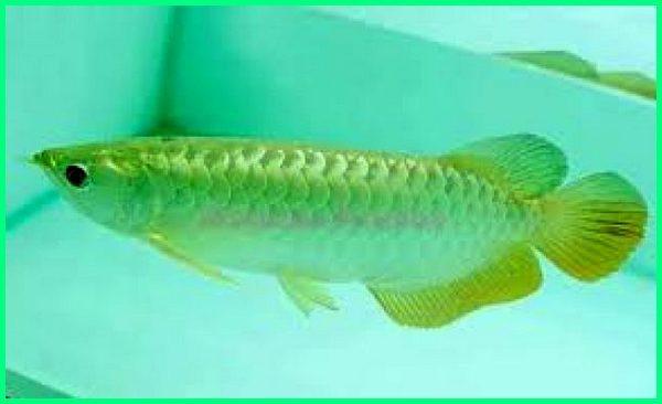 jenis arwana pino, jenis arwana banjar red, jenis ikan arwana green pino, jenis ikan arwana hias, jenis ikan arwana