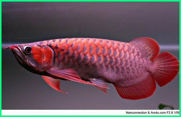 jenis arwana super red, jenis arwana dan harganya, jenis arwana termahal, jenis ikan arwana asli indonesia, jenis arwana dan asalnya, jenis ikan arwana air tawar, jenis arwana berdasarkan harga