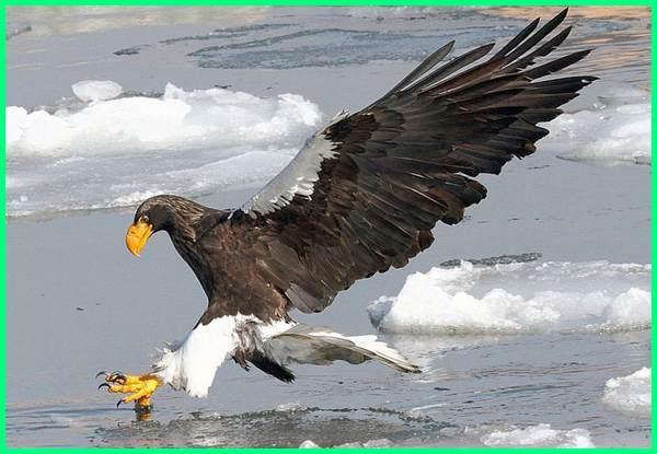 jenis elang berukuran besar, burung elang paling besar, gambar burung elang ukuran besar