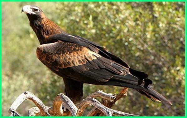 burung elang paling besar di dunia, burung elang paling besar, jenis burung elang paling besar