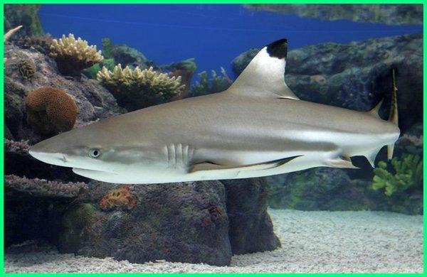 Hiu Sirip Hitam, Blacktip shark - Carcharhinus limbatus, salah satu hiu yang boleh diburu atau ditangkap, Blacktip shark hiu yang boleh dikonsumsi atau dimakan