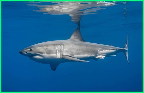 jenis ikan hiu yang dilarang, jenis ikan hiu yang berbahaya, jenis-jenis ikan hiu dan nama latinnya, gambar jenis ikan hiu, jenis ikan hiu yang dilindungi di indonesia, semua jenis ikan hiu jenis spesies ikan hiu