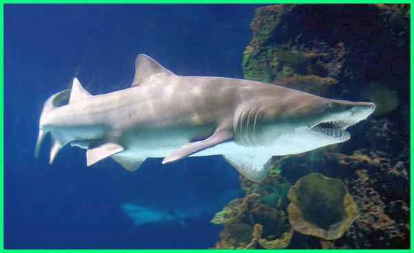 jenis ikan hiu yang dilarang ditangkap, ikan hiu yang gk boleh ditangkap