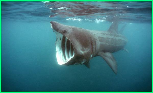 apa jenis ikan hiu, ada berapa jenis ikan hiu, nama nama jenis ikan hiu, jenis ikan hiu terbesar di dunia