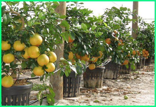 macam macam jeruk yang ada di indonesia, macam macam jeruk dan cirinya, macam jeruk dan gambarnya, macam jenis jeruk di indonesia, gambar macam macam jeruk dan namanya, macam jeruk sunkist