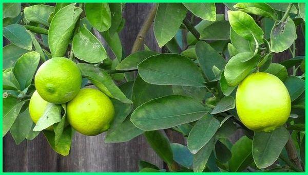 10 jenis jeruk di indonesia, jenis jeruk yang dibudidayakan di indonesia, jenis jenis jeruk di indonesia, jenis jenis jeruk indonesia