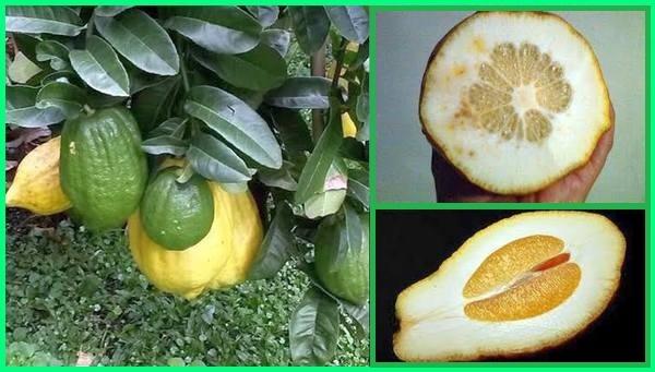 jenis pohon jeruk di indonesia, jenis jeruk yang ada di indonesia, jenis jenis jeruk di indonesia, jenis jenis jeruk indonesia, jenis jeruk lokal indonesia, macam jenis jeruk di indonesia