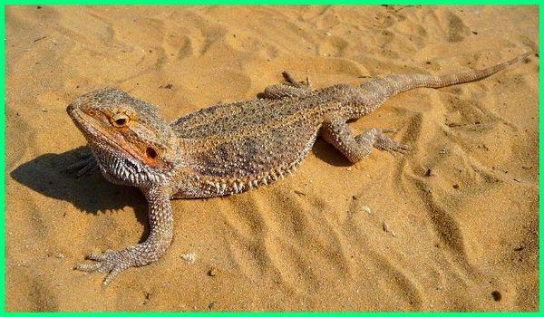 jenis kadal berduri, jenis kadal di dunia, jenis kadal yang dapat dipelihara, jenis dan foto kadal, jenis hewan kadal, jenis kadal yang hidup, info jenis kadal
