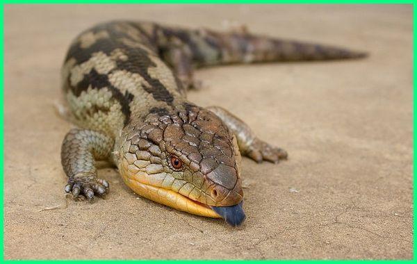 jenis kadal panana, jenis kadal indonesia, jenis kadal di indonesia, kadal jenis hewan apa, jenis hewan kadal, ragam jenis kadal