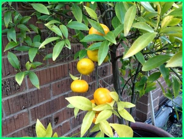 jeruk di pot berbuah lebat, menanam jeruk di pot, tanam jeruk di pot, pohon jeruk di pot, jeruk nipis di pot, buah jeruk di pot, cara menanam jeruk di pot agar cepat berbuah, cara menanam jeruk di pot berbuah lebat, budidaya jeruk di pot