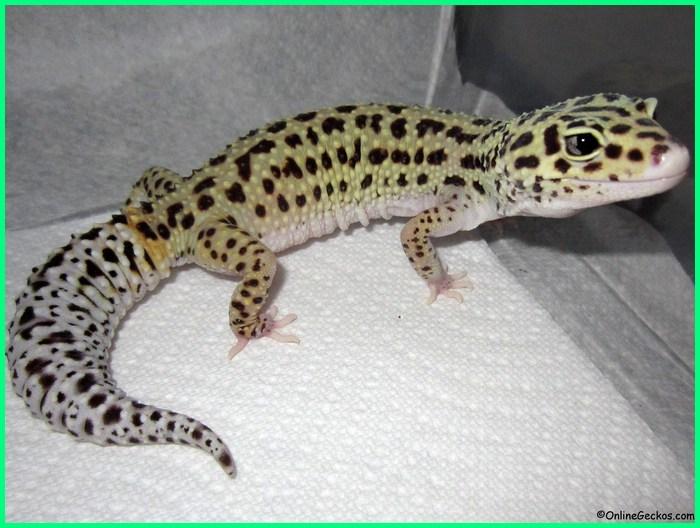 apa ciri khas dari leopard gecko, apakah leopard gecko menggigit, apakah leopard gecko butuh lampu, berapa lama telur leopard gecko menetas, berapa lama umur leopard gecko, kenapa leopard gecko tidak mau makan, for leopard gecko, for leopard gecko tank