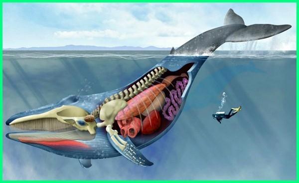 hewan dengan lidah terpanjang, hewan dengan lidah terberat terbesar di dunia, Anatomy of a Blue Whale, anatomi ikan paus, anatomi paus
