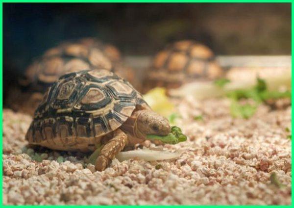 manfaat reptil bagi manusia, contoh dan manfaat reptil, manfaat hewan reptil, manfaat reptil bagi kehidupan manusia, manfaat memelihara reptil, manfaat dan peranan reptil, manfaat reptil untuk manusia, manfaat daun sirih untuk reptil, peranan dan manfaat reptil, manfaat lampu uvb untuk reptil