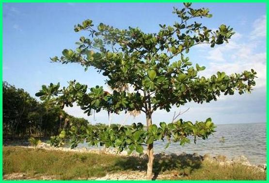 pohon ketapang buat cupang, fungsi daun ketapang buat cupang, manfaat daun ketapang buat cupang, manfaat daun ketapang bagi cupang, fungsi daun ketapang bagi cupang, daun ketapang untuk cupang hias, ketapang ikan cupang, ketapang pantai