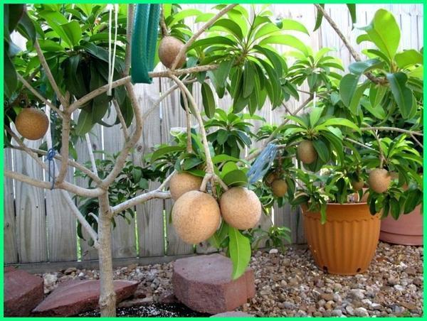 pohon sawo di pot, tanam sawo di pot, tanaman sawo di pot, budidaya sawo di pot, tanaman buah sawo di pot, cara merawat pohon sawo di pot, tanaman buah di pot