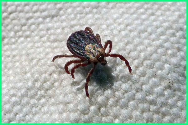 serangga tak bersayap yang menghisap darah, serangga penghisap darah, serangga penghisap darah selain nyamuk, serangga pemakan darah, serangga pencuri darah, serangga penyedot darah, serangga peminum darah