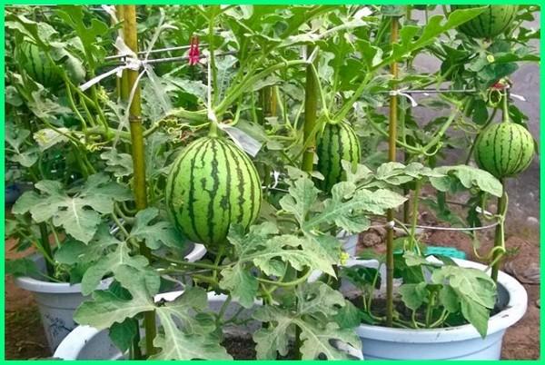 tanaman buah semangka dalam pot yang cepat berbuah, tanaman buah dalam pot yang mudah perawatannya,tanaman buah yang hidup di pot, tanaman buah dalam pot kecil dan besar, tanaman buah yang bisa di pot