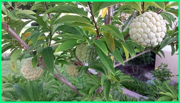 buah srikaya di pot, tanaman buah dalam pot yang cepat berbuah, tanaman buah yang cepat berbuah di pot, tanam buah naga di pot cepat berbuah, jenis tanaman buah dalam pot yang cepat berbuah, jual tanaman buah dalam pot yang cepat berbuah, harga tanaman buah dalam pot yang sudah berbuah