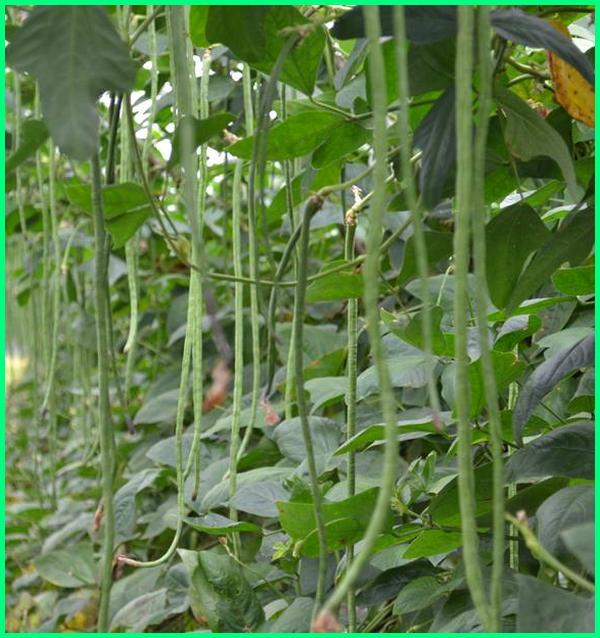 tanaman sayur mudah hidup, tanaman mudah tumbuh, tanaman buah mudah tumbuh, tanaman yang mudah berbuah dalam pot, tanaman yg mudah berbuah, tanaman mudah dipelihara, tanaman mudah hidup