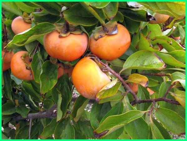 tanaman buah tropis,tanaman buah tropis langka, tanaman buah iklim tropis, tanaman buah subtropis