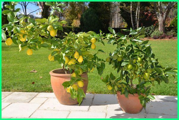 tanaman jeruk lemon di pot, tanaman buah jeruk di dalam pot, jeruk lemon di pot
