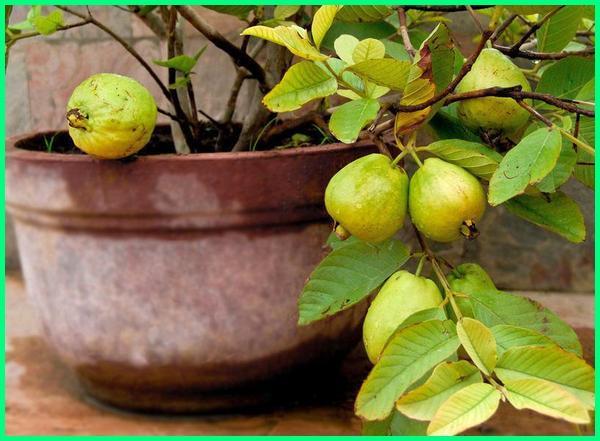 pohon jambu di pot, tanaman buah jambu di pot, tanaman buah yang di pot, tanaman buah pot, tanaman buah potensial, tanam buah pot, tanaman buah dalam pot yang cepat berbuah, tanaman buah yang ditanam di pot