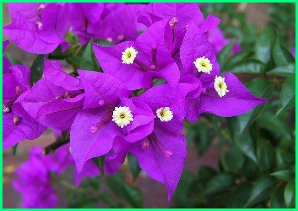 tanaman hias mudah dibudidayakan, tanaman hias yang tidak mudah layu, tanaman hias tidak mudah mati, tanaman hias mudah tumbuh