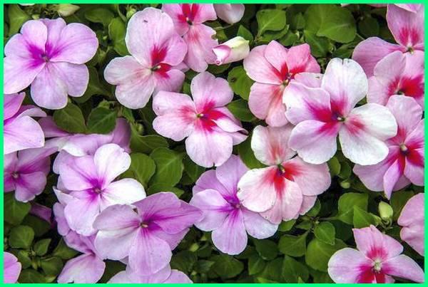 tanaman mudah tumbuh, tanaman mudah berbunga, tanaman mudah dirawat, tanaman hias gantung mudah dirawat, tanaman hias mudah perawatan, tanaman hias mudah dibudidayakan