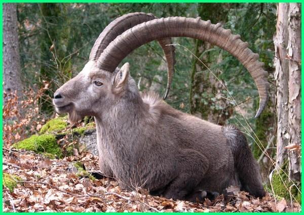 hewan tanduk panjang, kambing tanduk panjang, kambing mirip domba tanduk panjang besar
