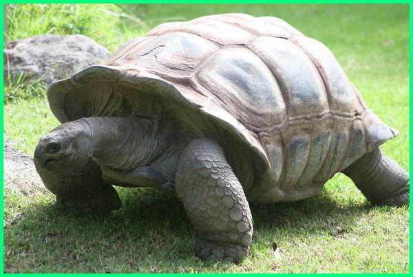 kura kura aldabra makan apa, asal kura kura aldabra, kura kura aldabra dewasa, kura kura darat aldabra, harga kura-kura raksasa aldabra, jenis kura kura aldabra, klasifikasi kura-kura aldabra, kura-kura raksasa aldabra