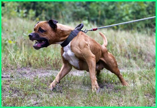 anjing pit bull tergalak, anjing pit bull paling galak