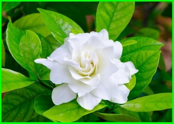 Bunga kaca piring atau Gardenia, bunga arti cinta, bunga yang artinya cinta, bunga yang artinya cantik, bunga dengan artinya, foto bunga dan artinya