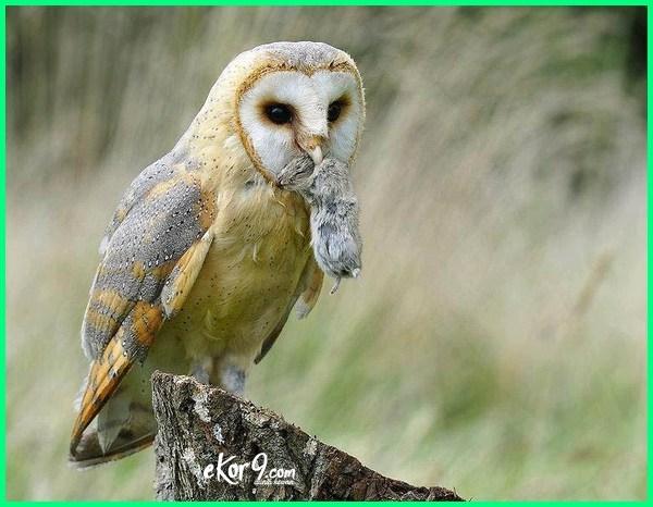 makanan burung hantu liar, makanan burung hantu serak jawa, makan burung hantu apa, apa makanan burung hantu yang masih kecil, apa makanan burung hantu besar, apa makanan burung hantu adalah, apa saja makanan burung hantu, makanan burung hantu bay owl, makanan burung hantu.com, contoh makanan burung hantu